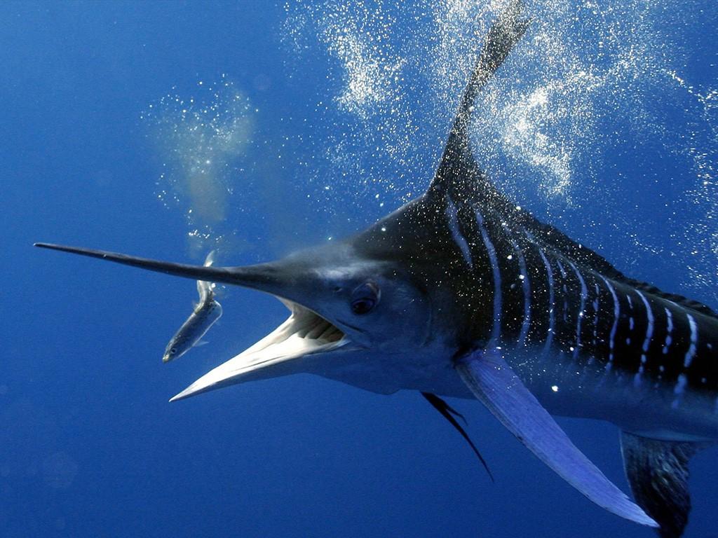 Рыба марлин, парусник, желтоперый тунец - самые быстрые в мире рыбы - статья