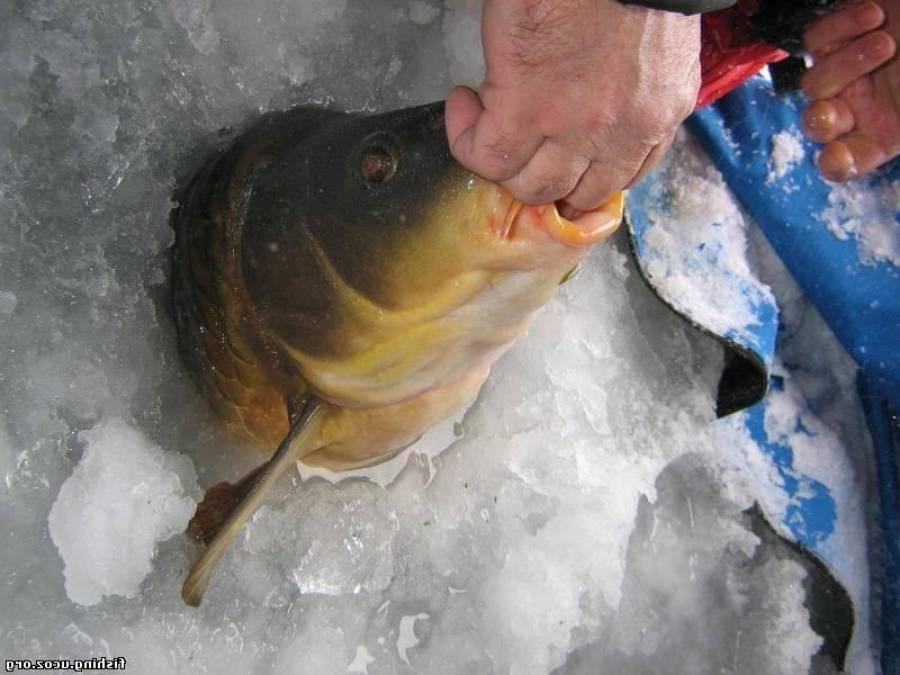 Ловля карпа зимой на мормышку и поплавок. выбор наживки, прикормки и снастей для рыбалки