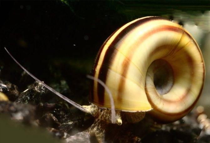 Неретина: содержание размножение,описание,фото,совместимость