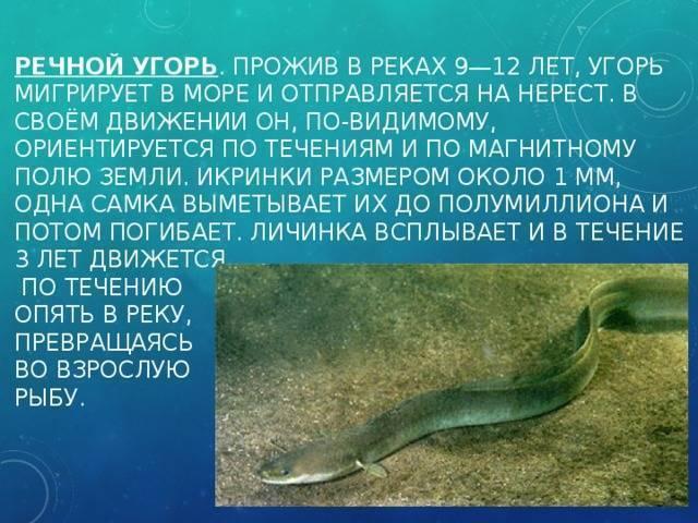 Рыба угорь: 125 фото и видео охоты, ловили и размножения угря