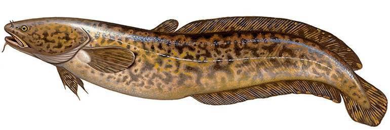 Рыба ленок: места обитания, размер, нерест, образ жизни и способы ловли