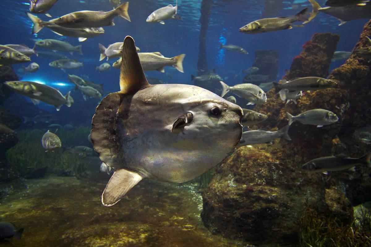 Рыба кефаль?: фото и описание. как выглядит кефаль?, чем питается и где водится