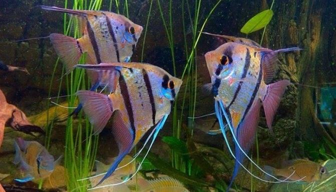 С кем уживаются рыбки данио в одном аквариуме?