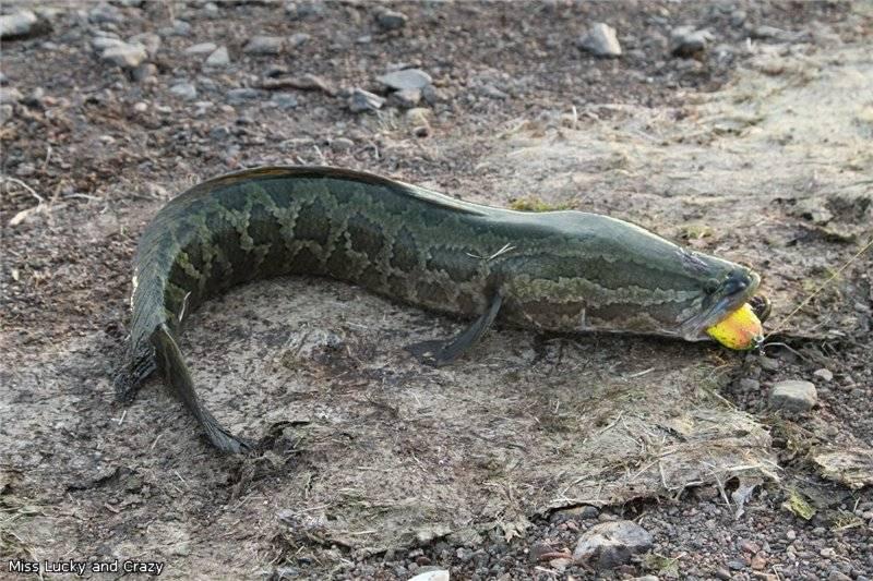 Рыба змееголов: описание и среда обитания, необычные свойства рыбы с головой змеи и особенности ее ловли, фото