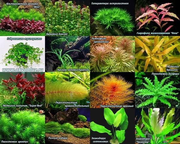 Аквариумные растения переднего плана