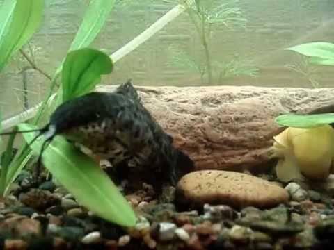 Всё об аквариумной рыбке таракатум