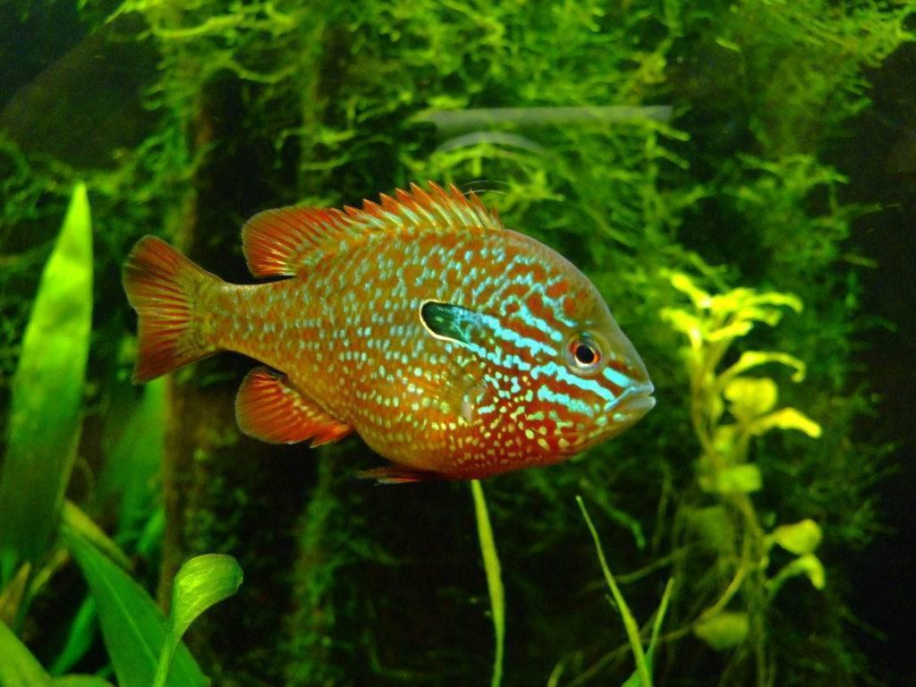 Солнечный окунь: нерест, места обитания, образ жизни, ловля и фото рыбы