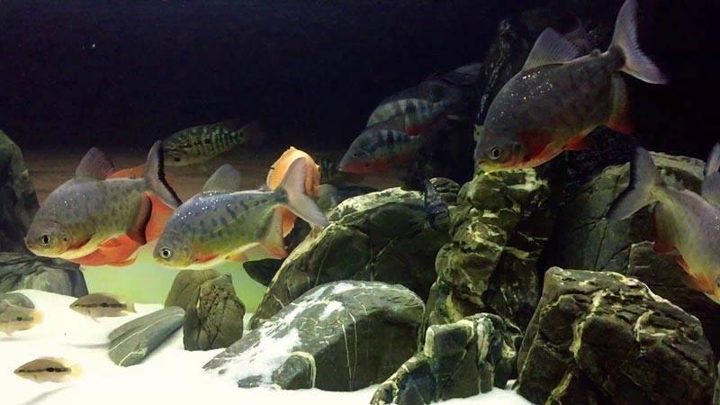 Красный паку: содержание,размножение,совместимость,описание,фото. | аквариумные рыбки