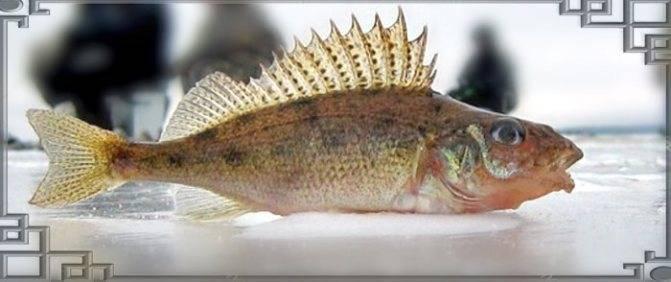 Рыба ерш: среда обитания, образ жизни и питания. снасти и приманки