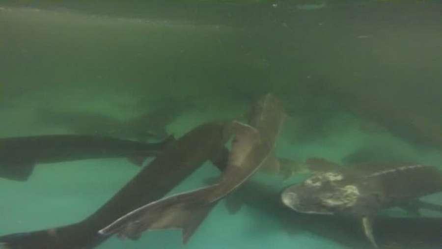 Рыба белуга: особенности внешнего вида, ареал обитания, питание и размножение