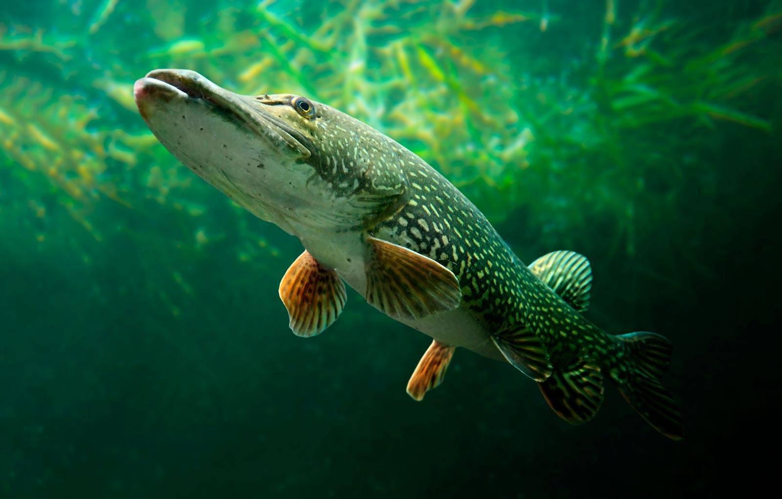 Пресноводная хищная рыба: щука обыкновенная