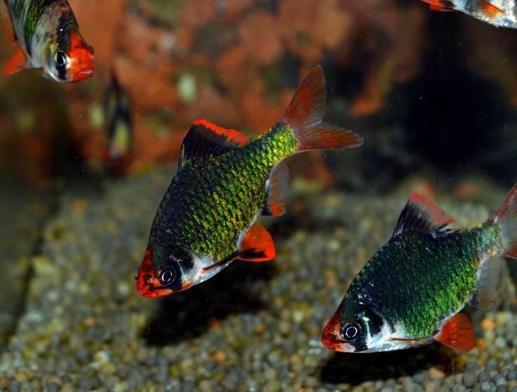 Рыбки барбусы: виды, уход и содержание, совместимость