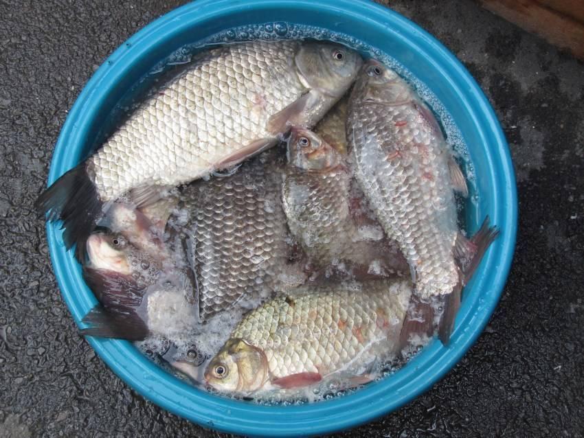 Карась (рыба). фото и описание. видео   все о карасе