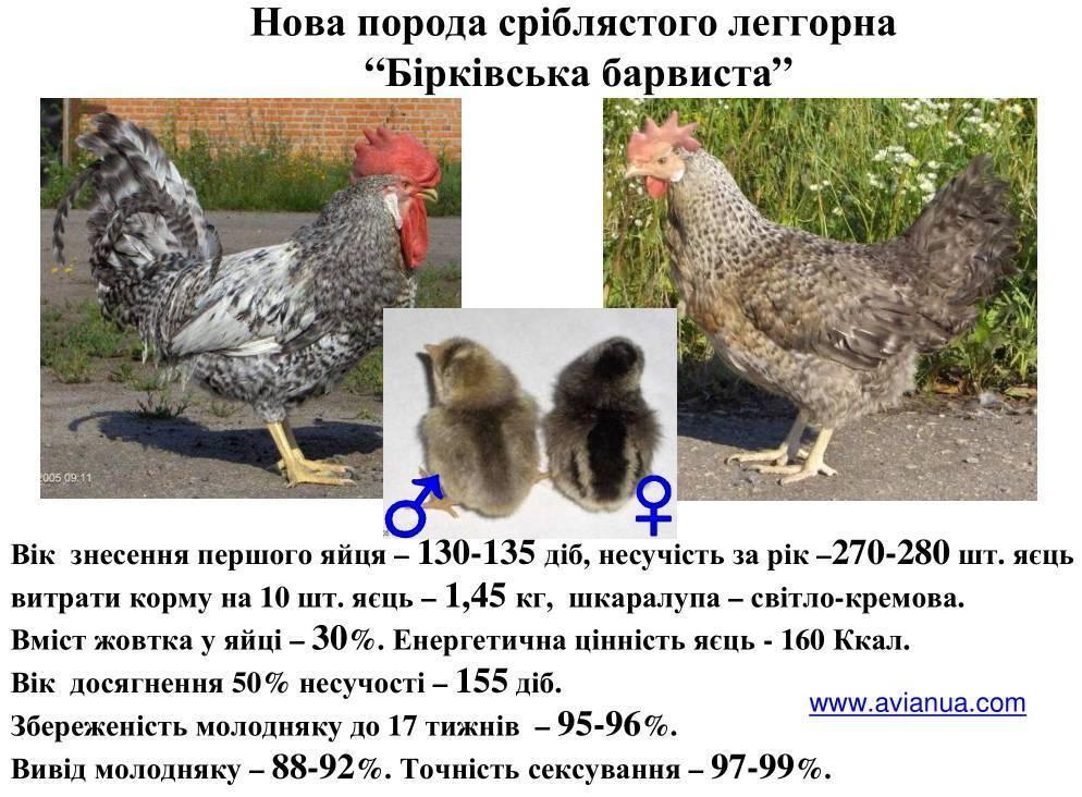 Куры несушки - лучшие породы для дома, какие породы кур лучше?