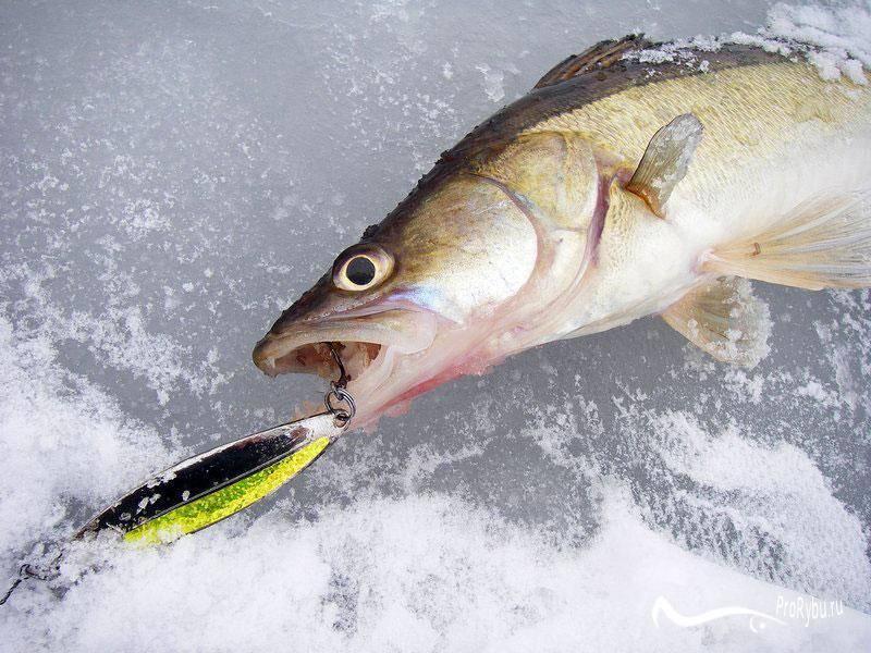 Ловля судака зимой: самые уловистые приманки и снасти