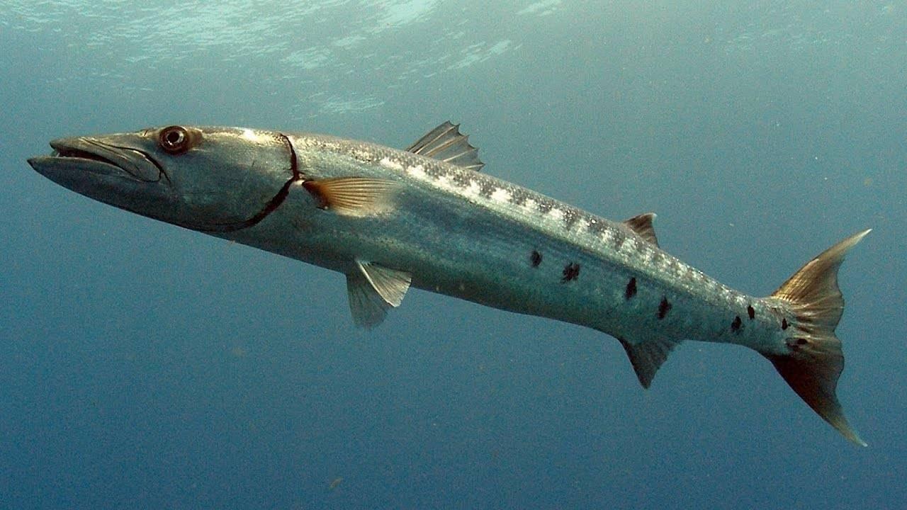 Барракуда рыба. образ жизни и среда обитания рыбы барракуды | животный мир