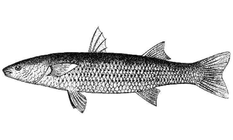 Черноморская кефаль: виды промысловой рыбы, ее образ жизни и полезные свойства; рецепты блюд из кефали