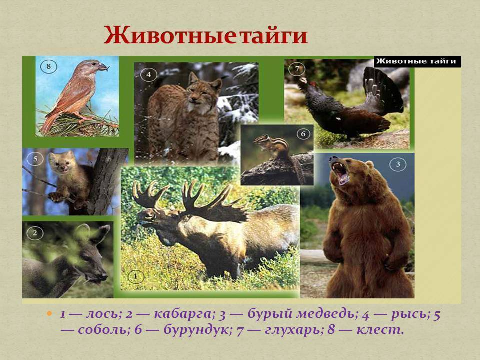 Тайга - природная зона, описание, климат, особенности и характеристика | зона тайги россии