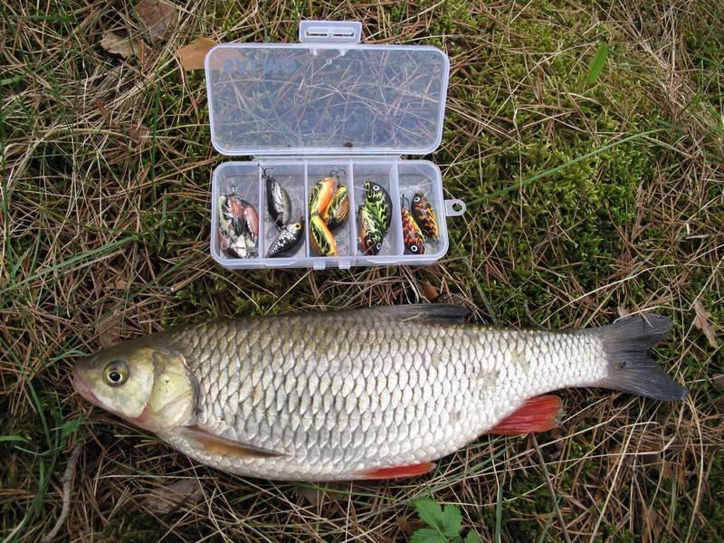 Язь рыба: как выглядит, где водится, когда нерест язя