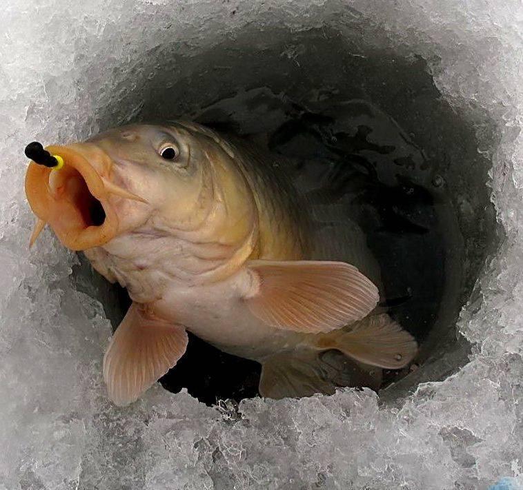 Ловля карпа зимой: особенности и секреты, выбор снасти, применение мормышки на зимней рыбалке