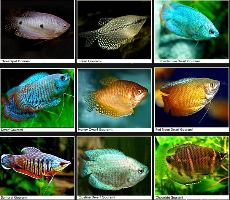 Лампрологус: виды, фото, содержание в аквариуме