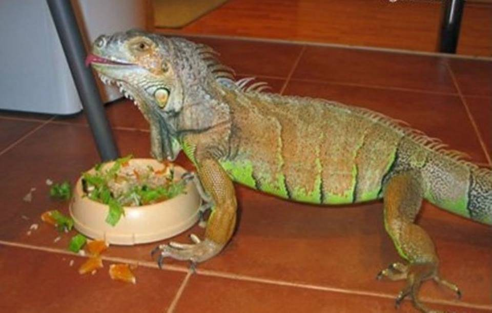 Прыткая ящерица в домашних условиях