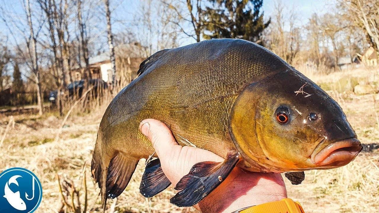 Ловля линя. как выбрать место, насадку, снасть и водоем при рыбалке.