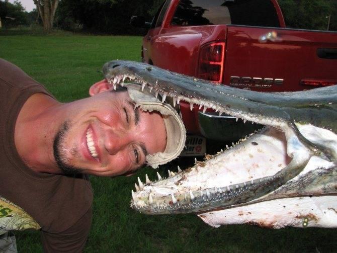 Миссисипский панцирник, или рыба-аллигатор (atractosteus spatula) « николлетто