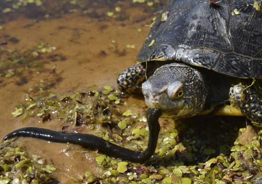 Болотная черепаха. Содержание в домашних условиях.