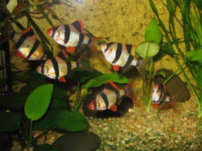 Аквариумная рыба барбус суматранский