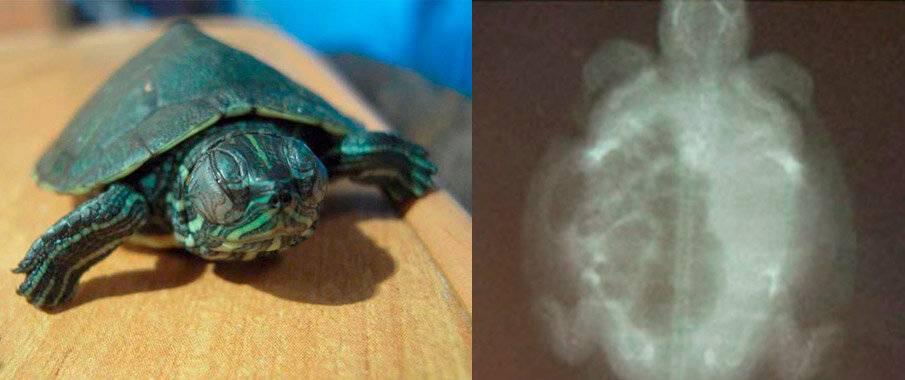 Самые распространенные заболевания у черепах и способы их лечения   все о животных