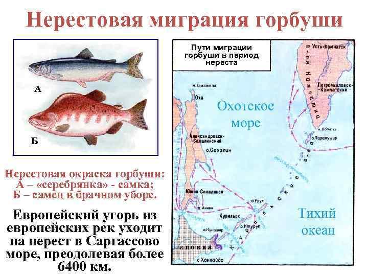 Обоняние у рыб