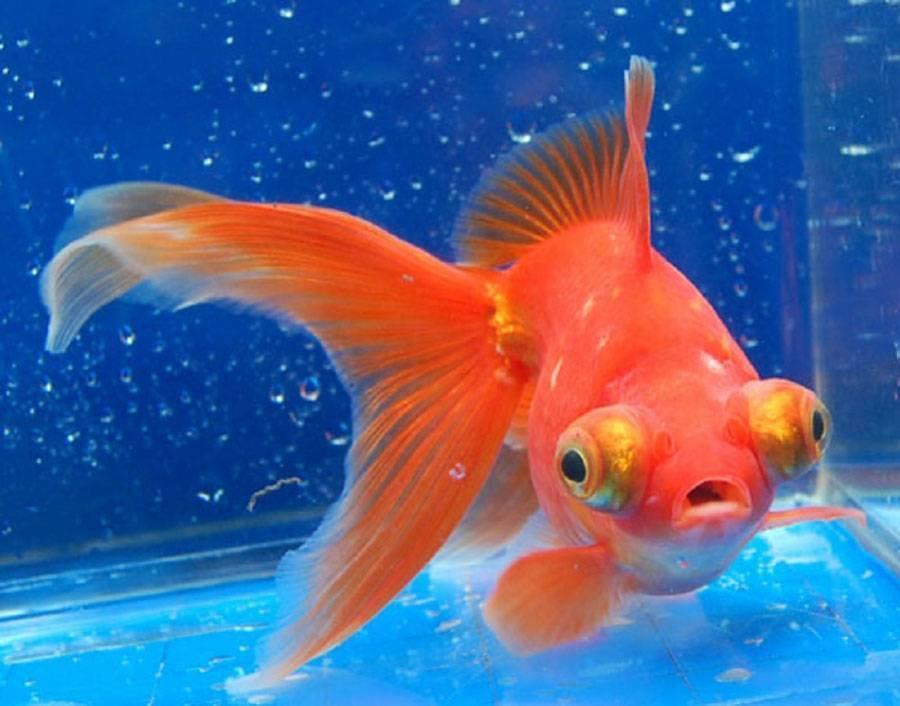 Телескоп рыба - особенности содержания в аквариуме, советы специалистов