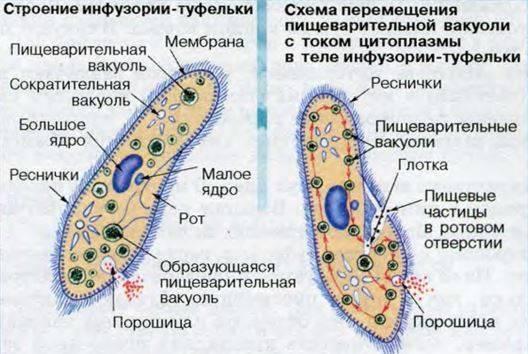 Как передвигается инфузория туфелька: среда обитания, питание