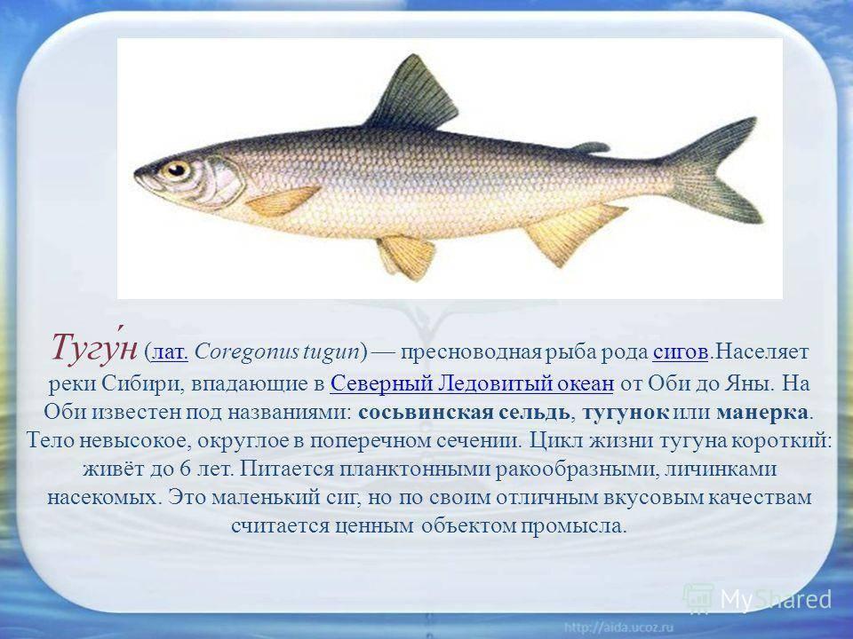 Ловля сига — особенности рыбалки - fishingwiki