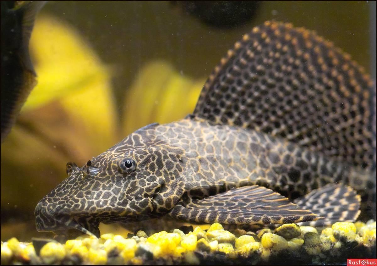 ᐉ парчовый сом птеригоплихт: описание с фото, содержание и кормление, совместимость с другими рыбами - zoovet24.ru