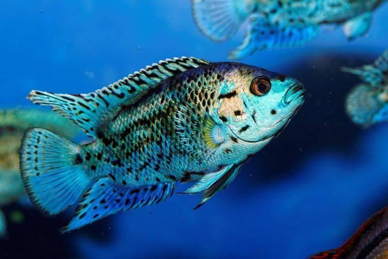 Содержание цихлазомы меека и её совместимость с другими рыбами