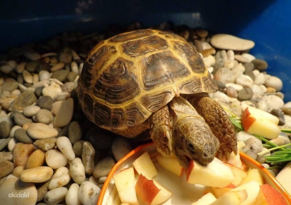 Как выбрать черепаху для дома? какую лучше черепаху выбрать? практические рекомендации1 min read. черепахи - неприхотливые питомцы для вашего дома какая черепашка лучше морская или сухопутная