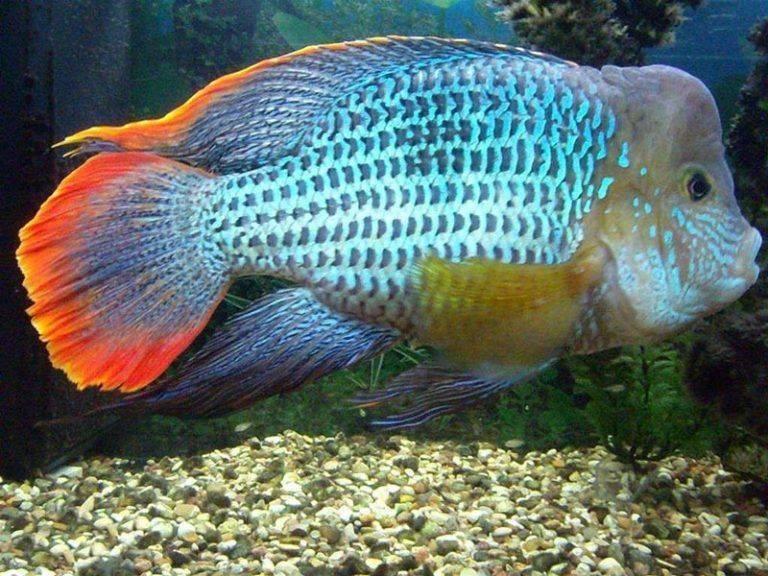 С кем уживаются цихлиды в аквариуме, как содержать этих рыбок
