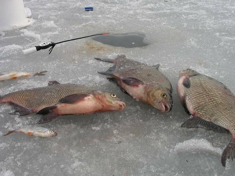Зимняя рыбалка на леща: снасти для ловли, где искать, поведение рыбы в декабре, январе и феврале
