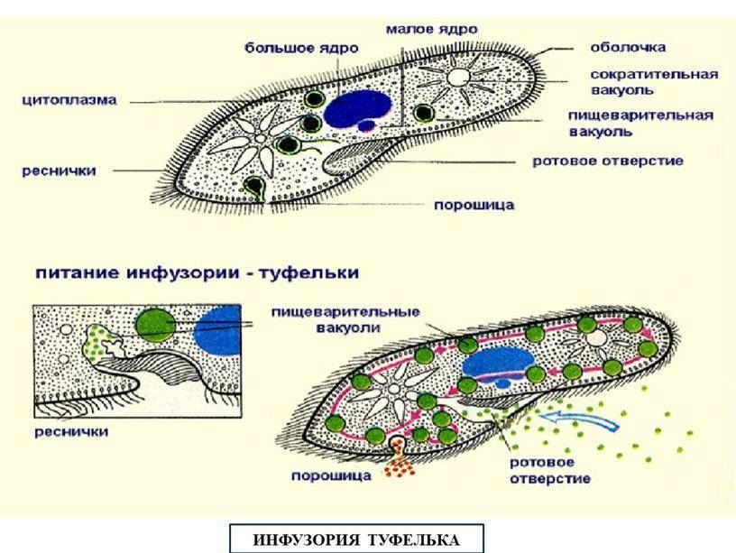 Инфузория туфелька: строение и жизнедеятельность