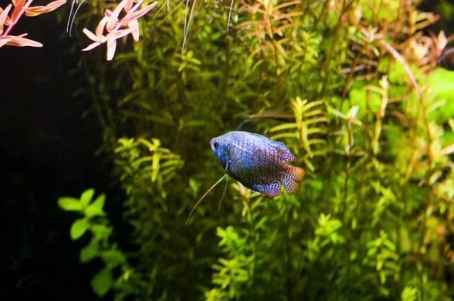 Совместимость лялиусов (10 фото): содержание с другими рыбами. как рыбки лялиусы уживаются с креветками и макроподами?