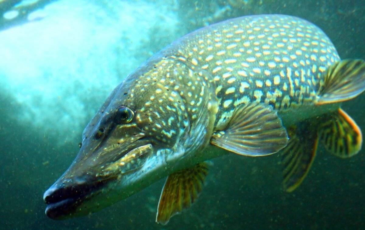Интересные факты о рыбе щука обыкновенная