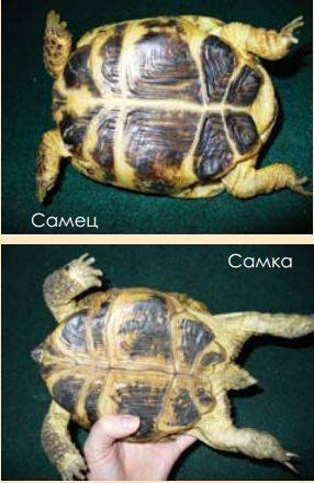Продолжительность жизни красноухой черепахи