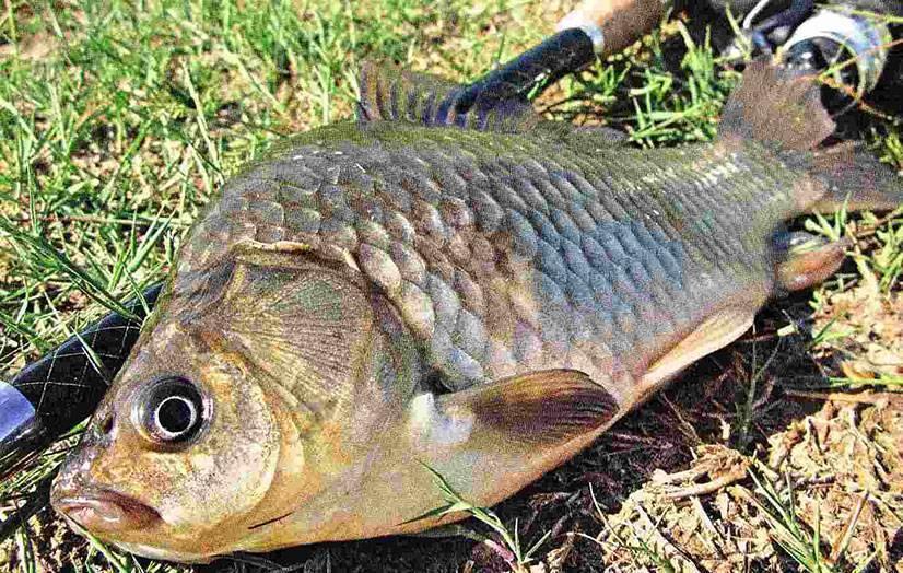 Рыба карась: как выглядит и чем питается, описание вида