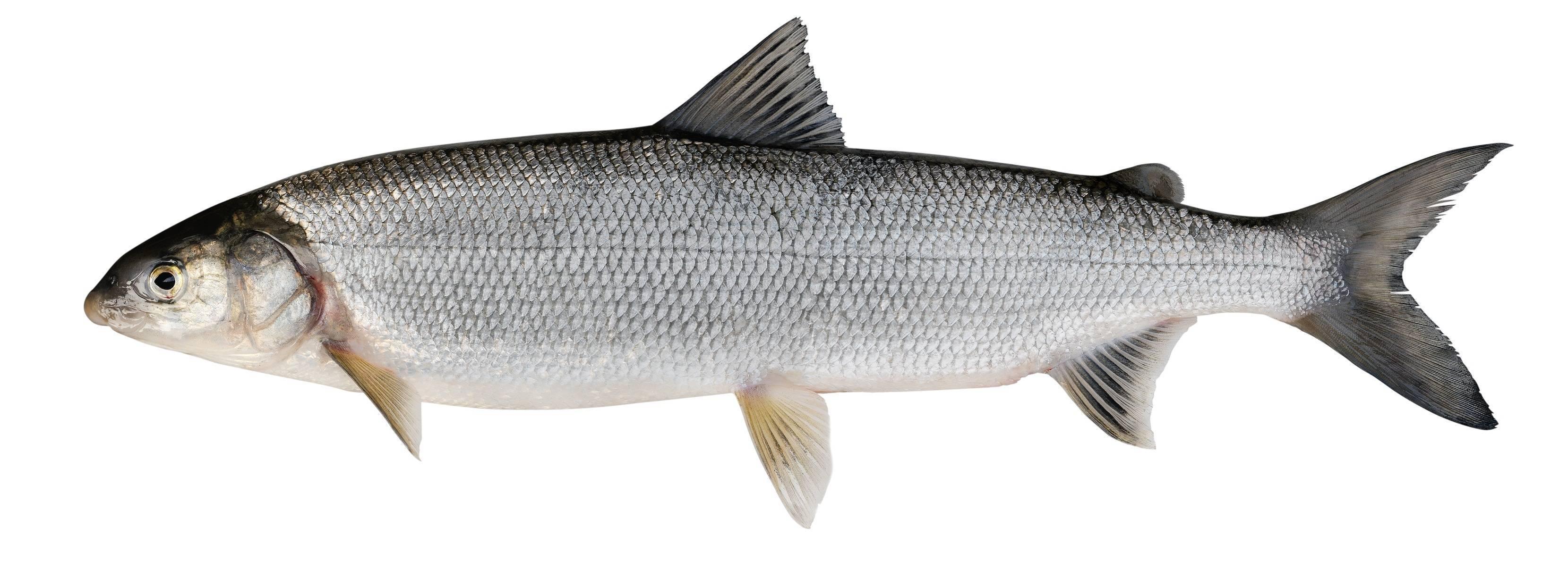 Рыба нельма, описание, как ловить