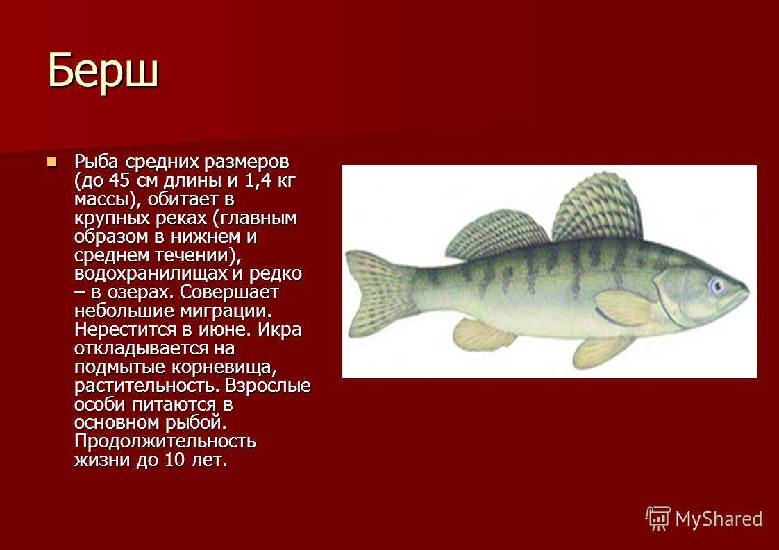 Что за рыба зубатка: интересные факты