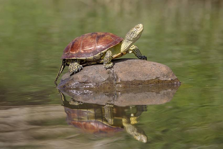 Европейская болотная черепаха: характер, особенности внешнего вида и содержания в домашних условиях