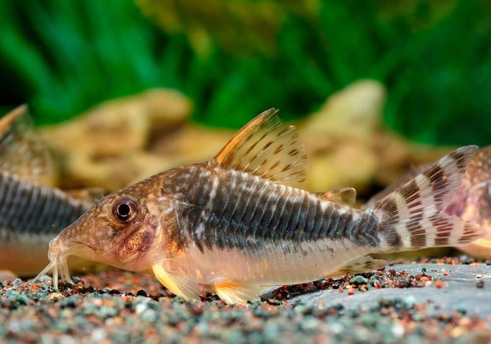 Сомы коридорасы — маленькие, мирные рыбки для аквариума