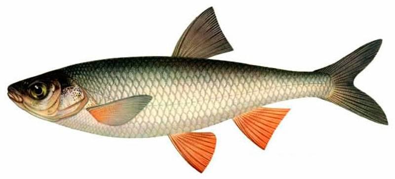 Чебак рыба (сибирская плотва)